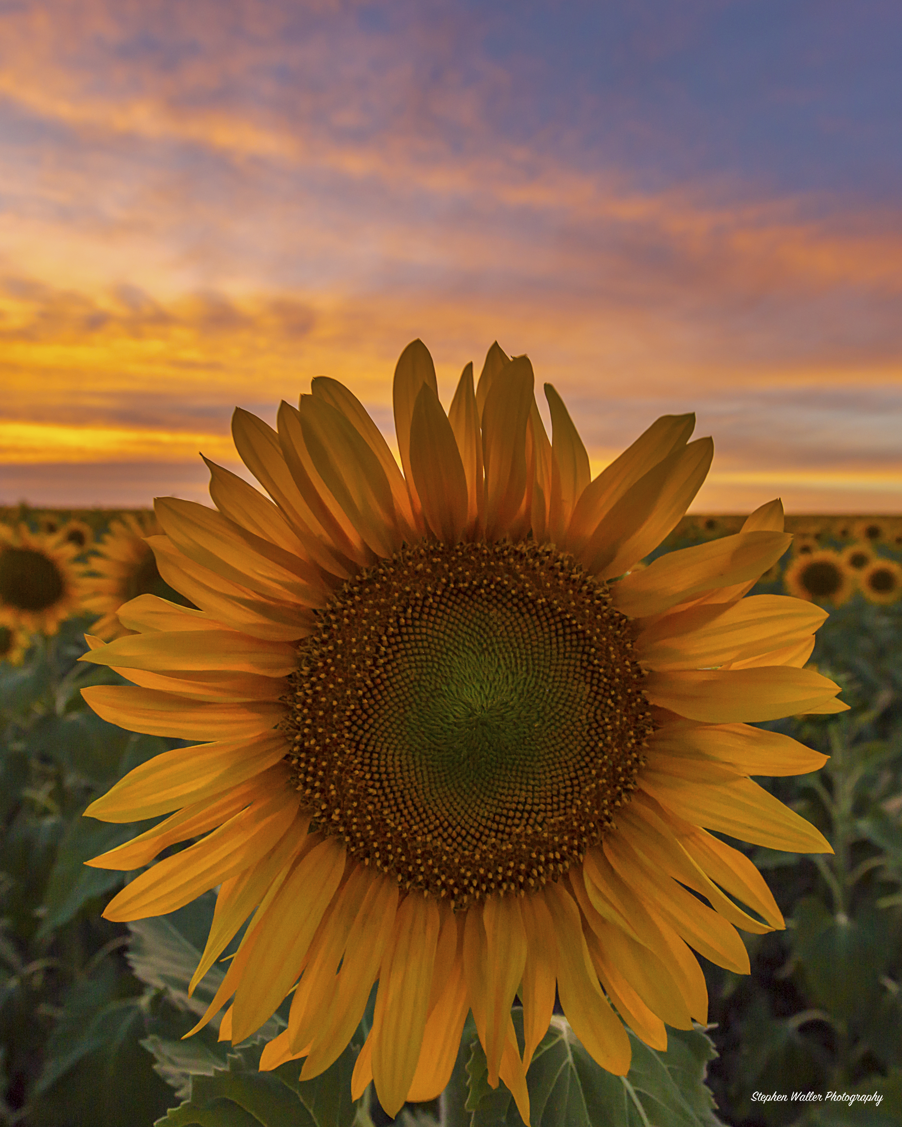 Sunflower Sunset at Nobby 01