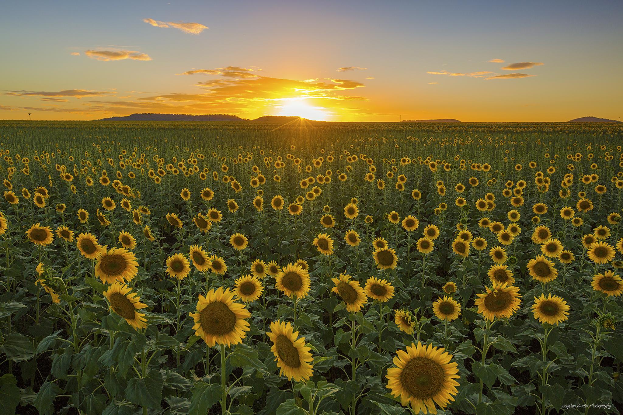 Sunflower Sunset at Nobby 05