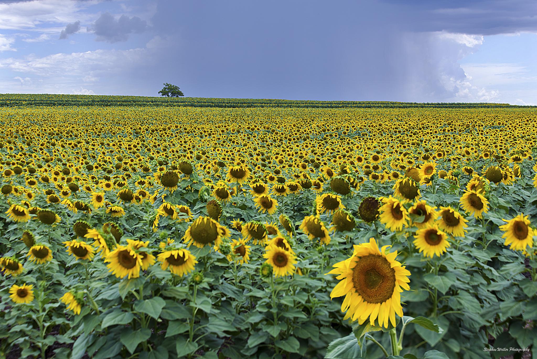 lone_tree_sunflowers33w