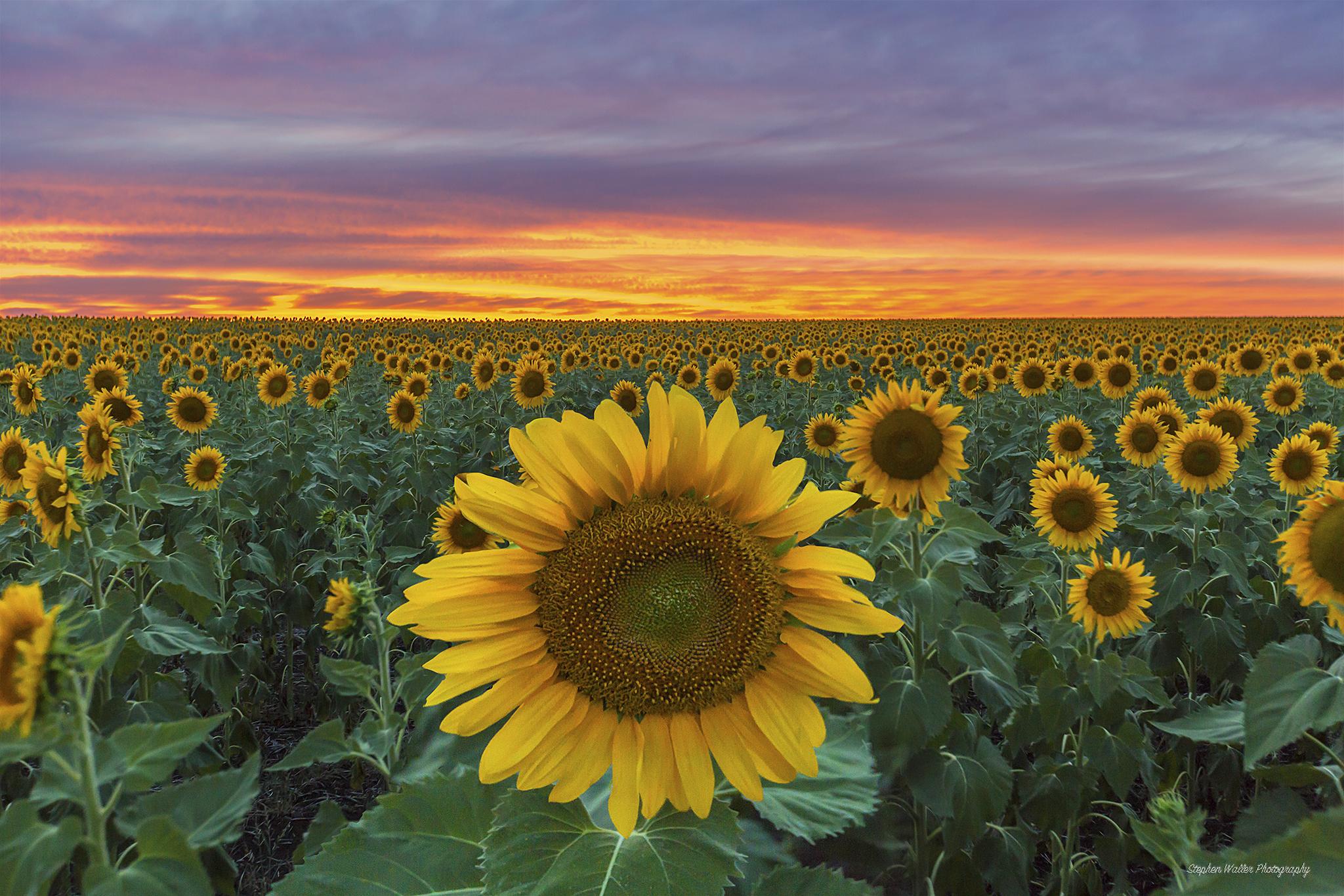 Sunflower Sunset at Nobby 02