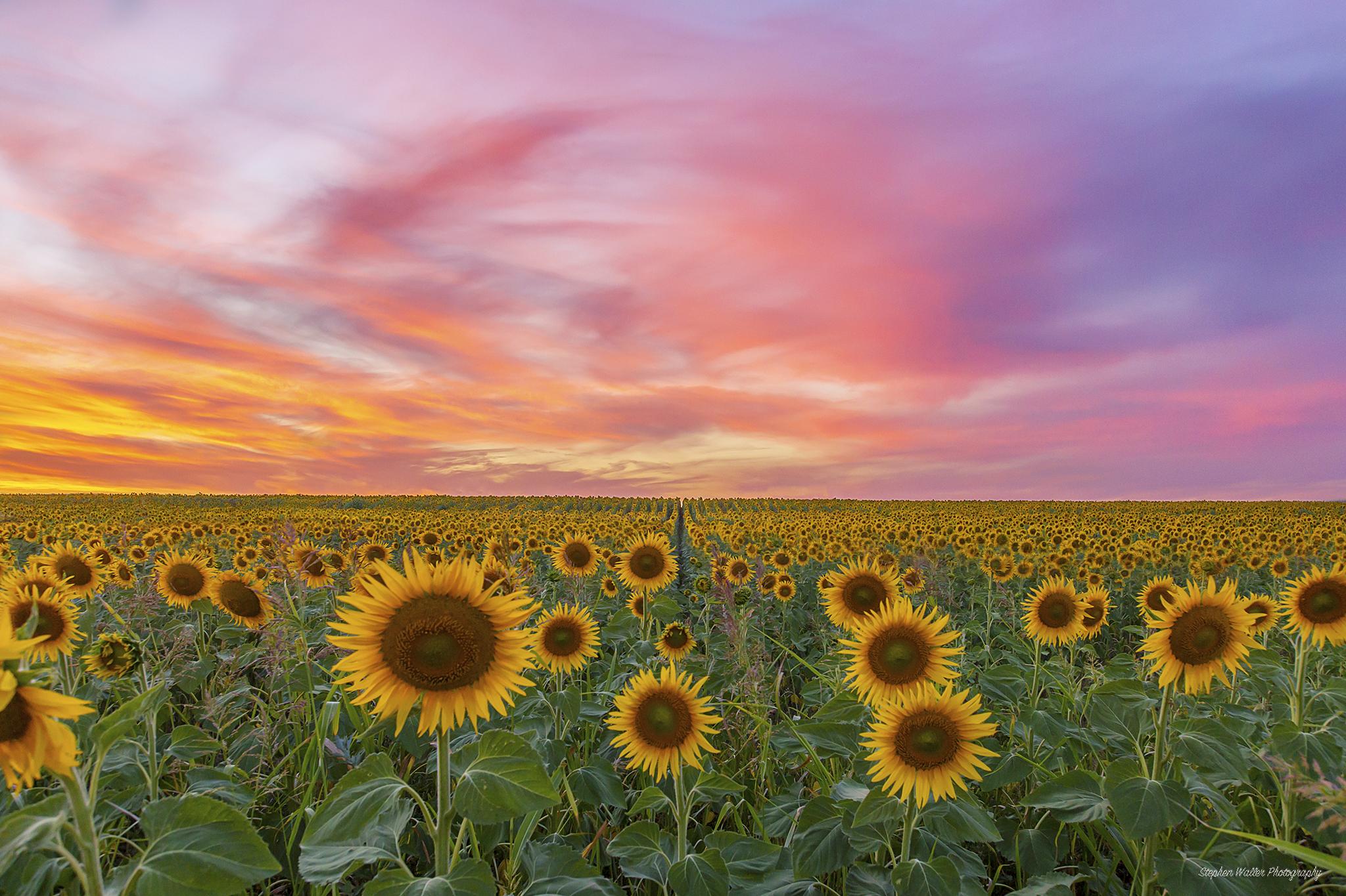 Sunflower Sunset at Nobby 04