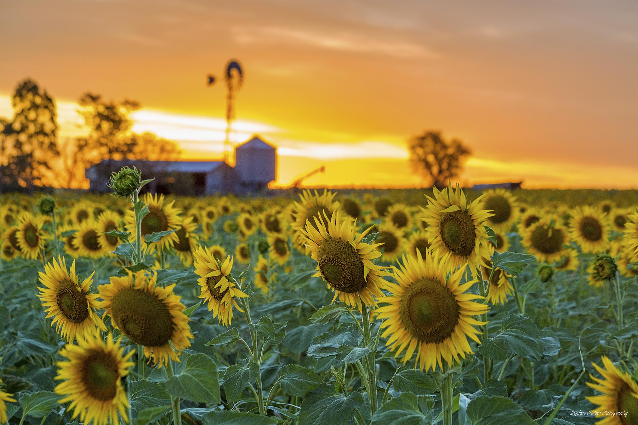 Sunflower Windmill Sunset 01